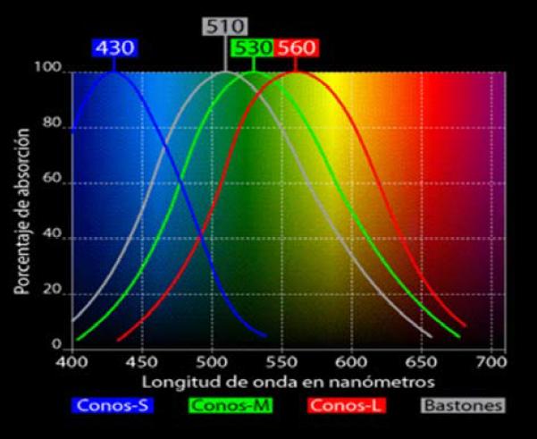 percezione-colore-spettro-coni-occhio